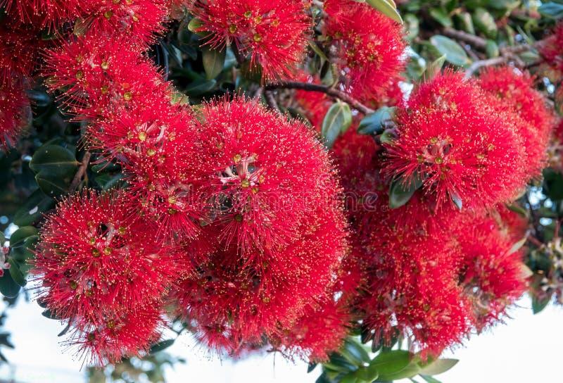 Röda Pohutakawa trädblommor Auckland, Nya Zeeland arkivfoton