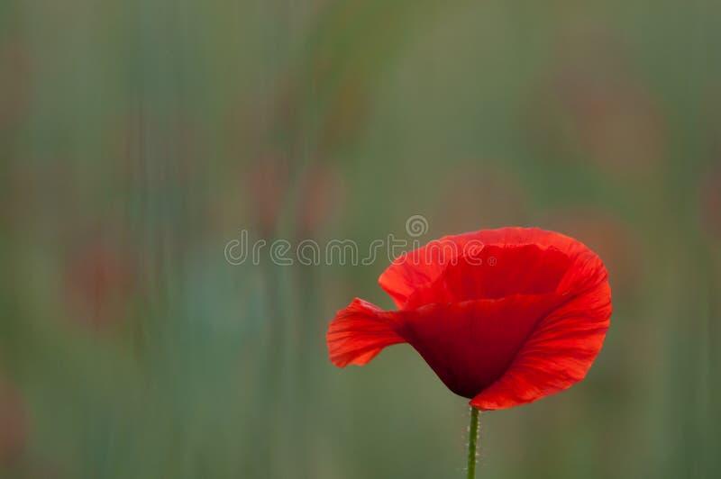 Röda Poppie royaltyfri bild