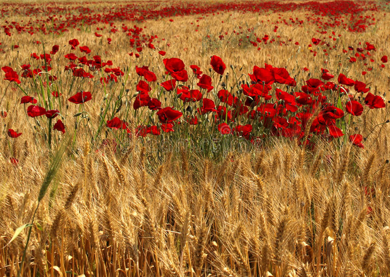 Röda Poppy Flowers inom vetefält royaltyfri foto