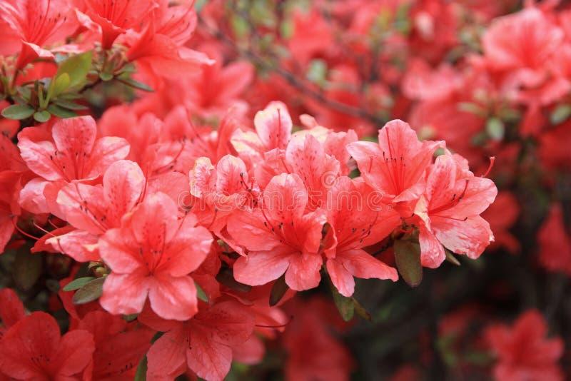 Röda rhododendronblommor arkivbild