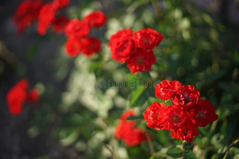 Röda ro i trädgården royaltyfri foto