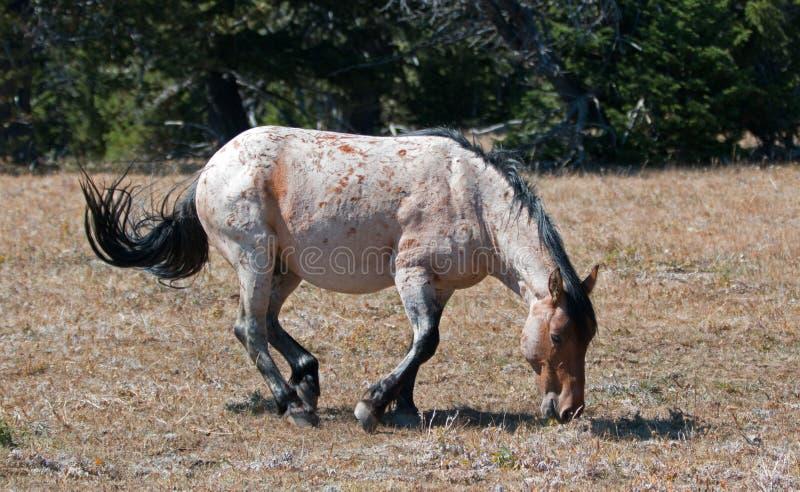 Röda Roan Wild Stallion omkring som rullar i smutsen i området för Pryor bergvildhäst i Montana royaltyfri bild