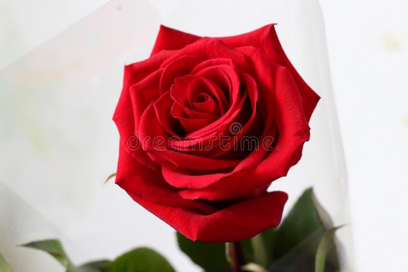 Röda ros-blommor som över hela världen älskas av kvinnor royaltyfria bilder