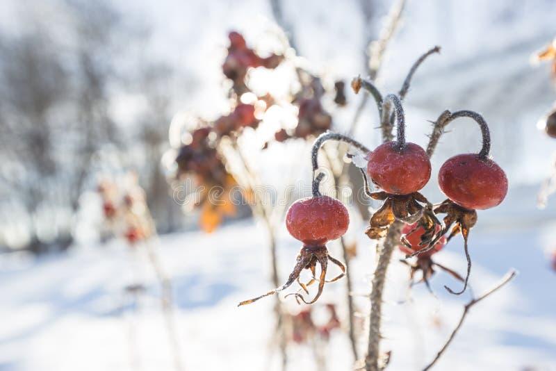 Röda ros-höfter i vinter royaltyfria foton