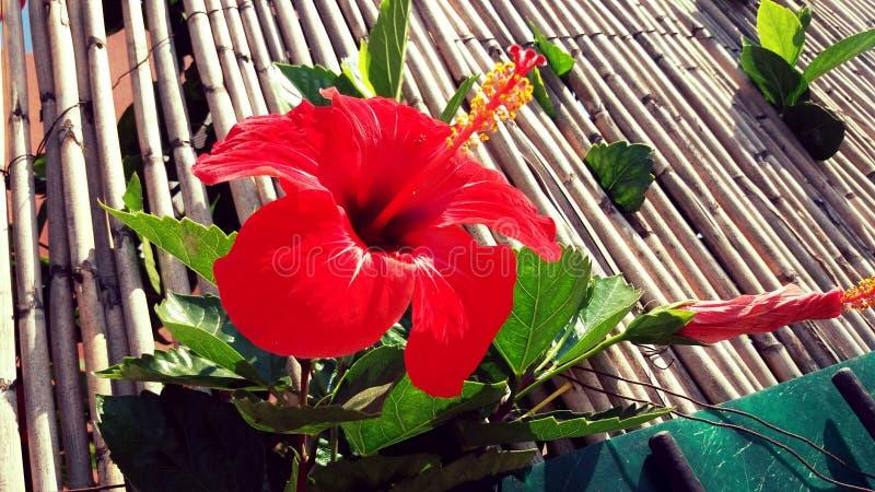 röda rosa royaltyfri foto