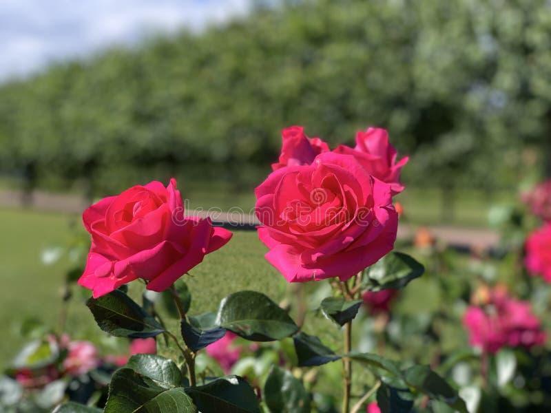 Röda rosa rosa blommor Bakgrund arkivfoto