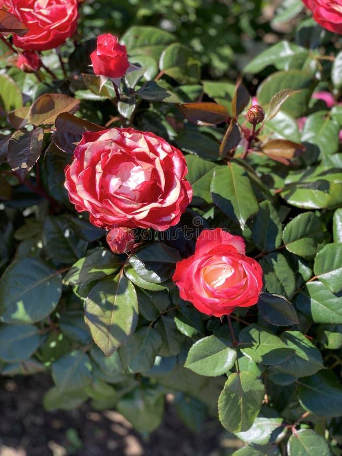 Röda rosa rosa blommor Bakgrund arkivbild