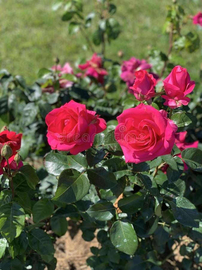 Röda rosa rosa blommor Bakgrund royaltyfri bild