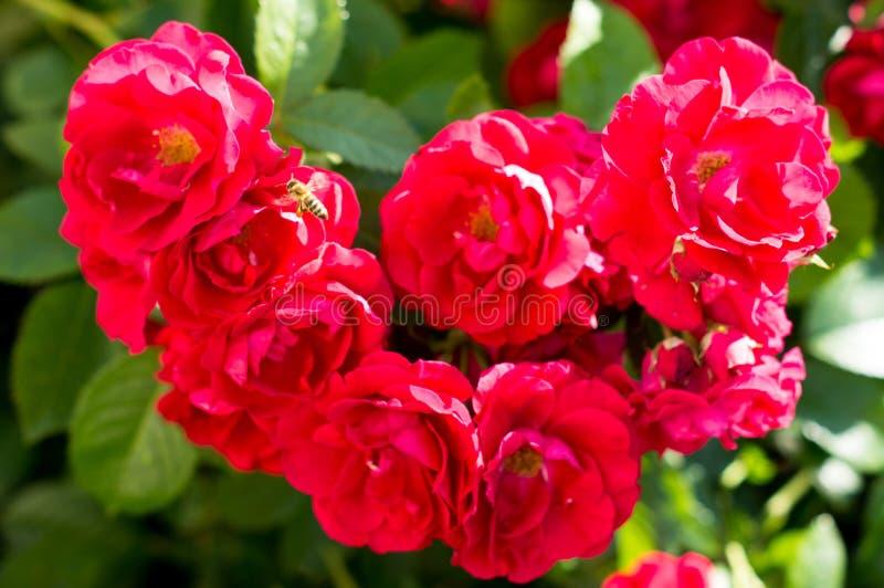 Röda rosa buskar med gröna sidor, en perfekt gåva för en kvinna för något tillfälle Lyxig sikt på en sommardag royaltyfri fotografi
