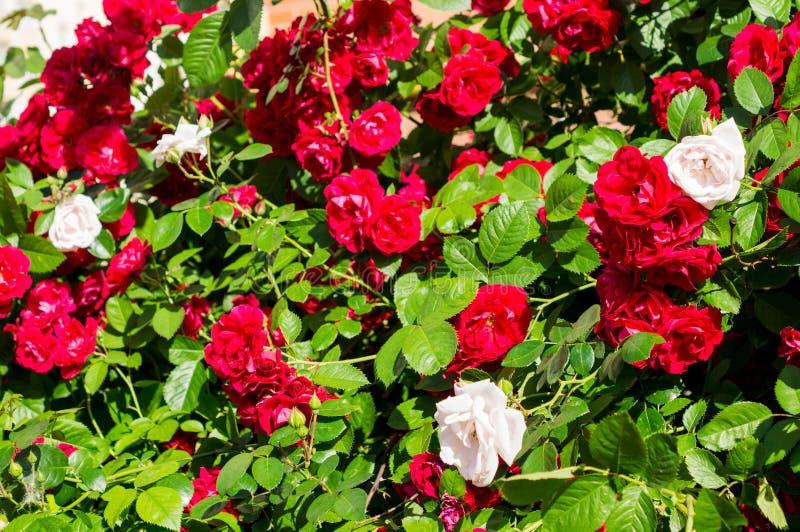 Röda rosa buskar med gröna sidor, en perfekt gåva för en kvinna för något tillfälle Lyxig sikt på en sommardag royaltyfria foton