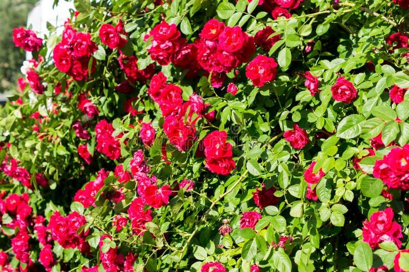 Röda rosa buskar med gröna sidor, en perfekt gåva för en kvinna för något tillfälle Lyxig sikt på en sommardag royaltyfri bild