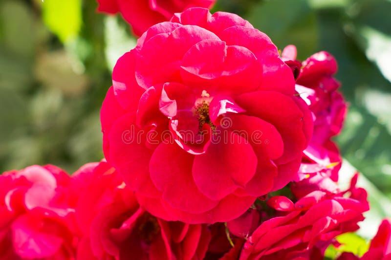 Röda rosa buskar med gröna sidor, en perfekt gåva för en kvinna för något tillfälle Lyxig sikt på en sommardag royaltyfria bilder