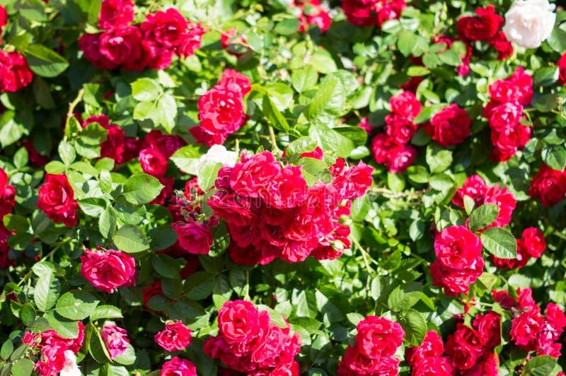 Röda rosa buskar med gröna sidor, en perfekt gåva för en kvinna för något tillfälle Lyxig sikt på en sommardag fotografering för bildbyråer