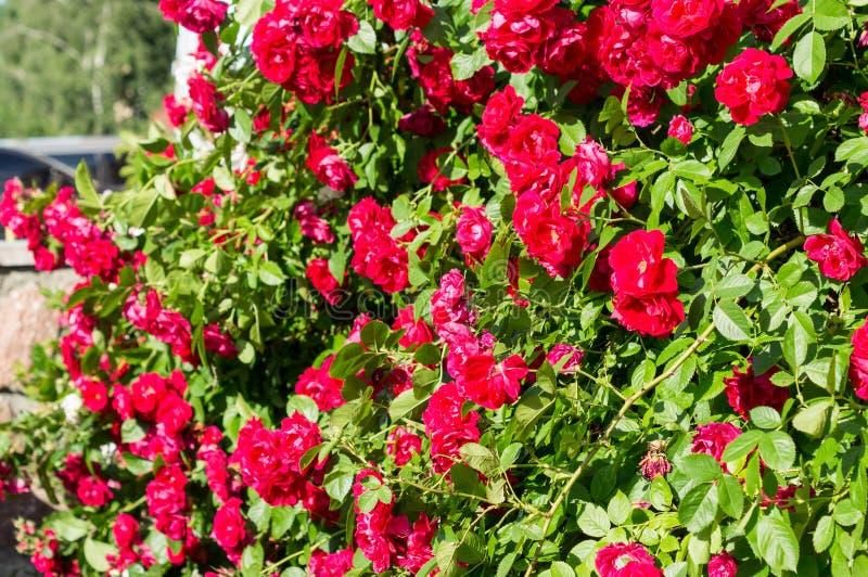 Röda rosa buskar med gröna sidor, en perfekt gåva för en kvinna för något tillfälle Lyxig sikt på en sommardag arkivbilder