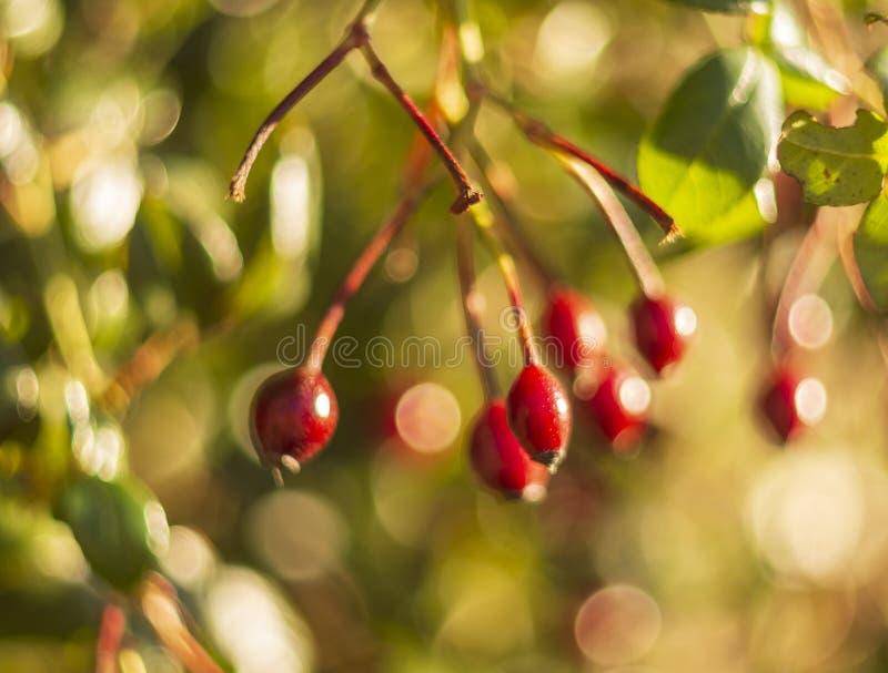 Röda rosa höfter eller hagtornbär på en solig dag med härlig bokeh arkivfoton