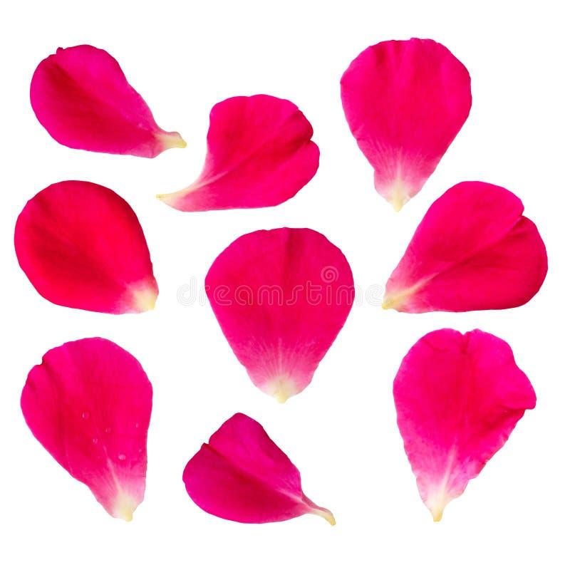 Röda rosa kronblad ställde in samlingen isolerad på vit bakgrund arkivbild