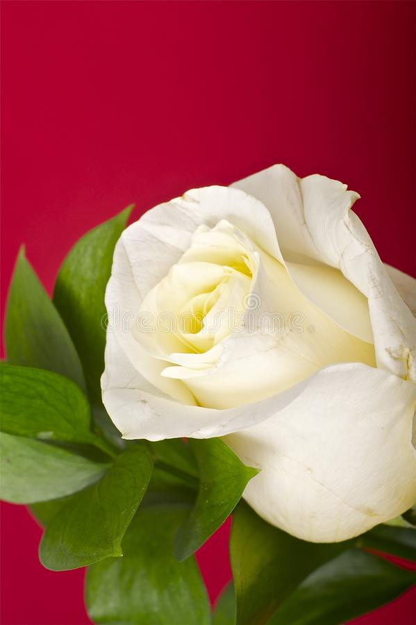 Röda Rose arkivbilder