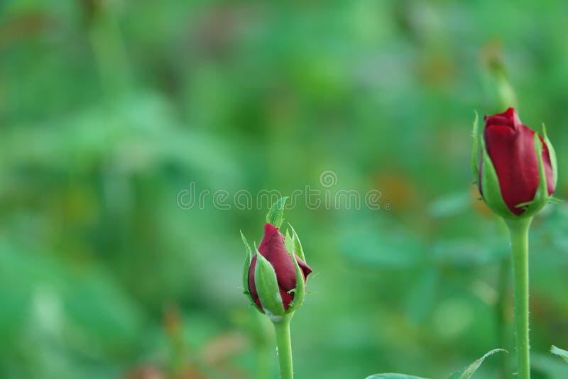 Röda Rose Flowers Bud arkivbild