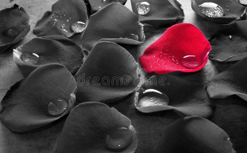 Röda Rose Petal Tears royaltyfri fotografi