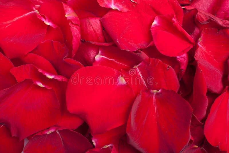 Röda roskronblad som är ordnade i en bakgrund arkivbild