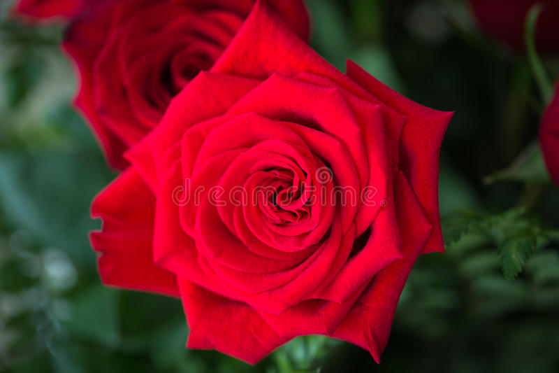 Röda rosor över valentindag royaltyfria bilder