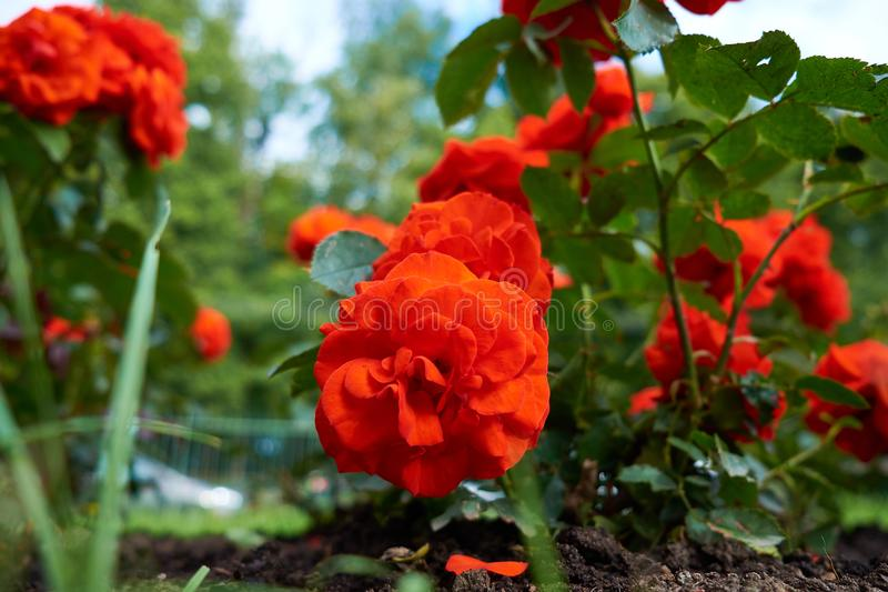 Röda rosor på en buske i en trädgård royaltyfri fotografi