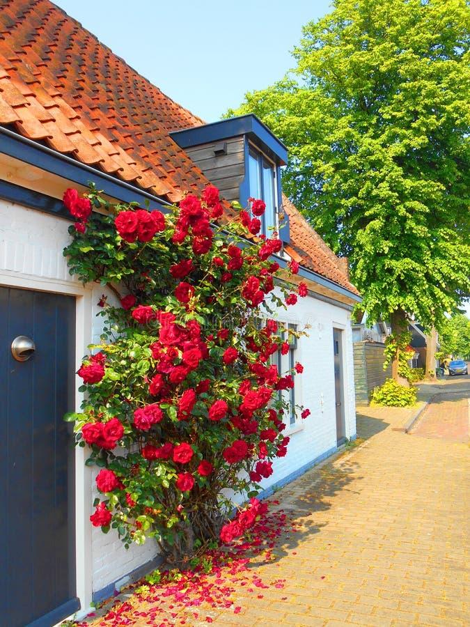 Röda rosor på trävitt hus royaltyfria foton