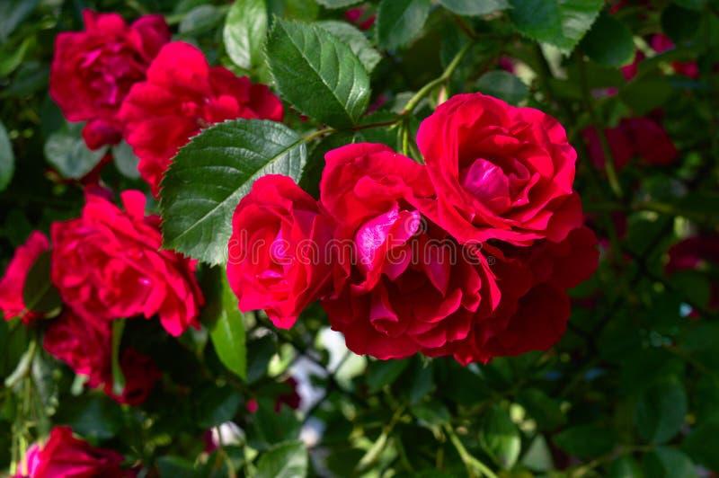 Röda rosor som klättrar i en trädgård royaltyfri foto