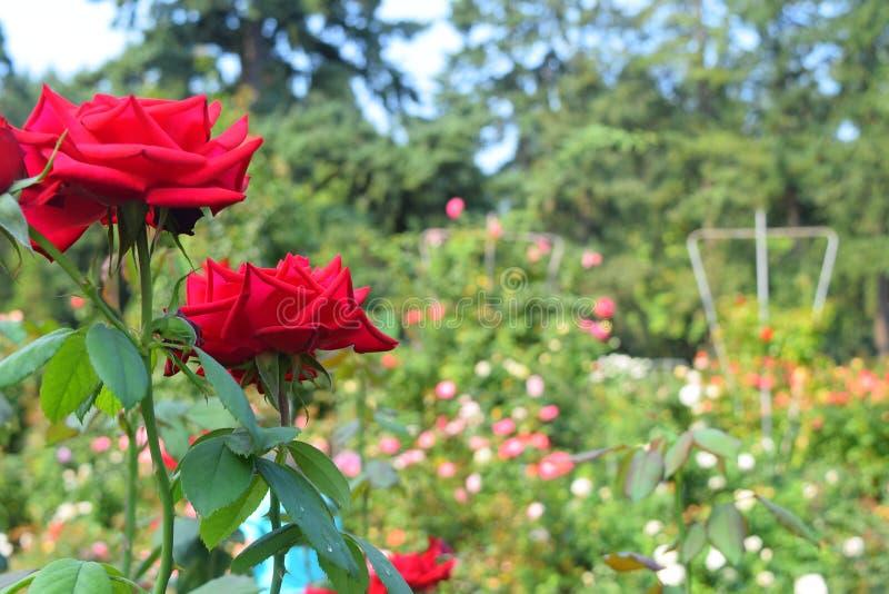 Röda rosor stänger sig upp i en rosträdgård royaltyfri bild