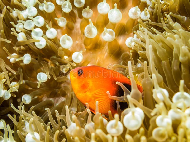 Röda saddlebackanemonefish i anemonen royaltyfria bilder