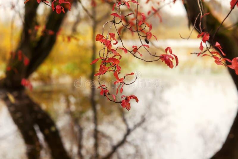 Röda sidor av höstträd royaltyfria foton