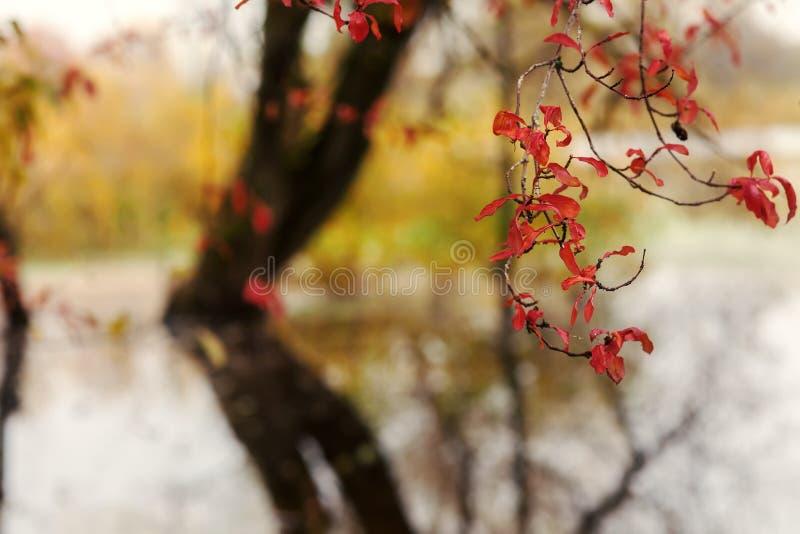 Röda sidor av höstträd royaltyfria bilder