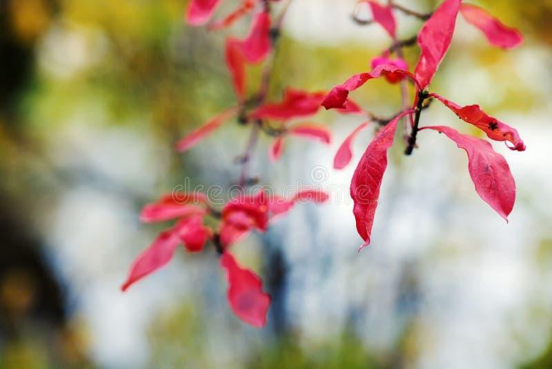 Röda sidor av höstträd arkivfoto