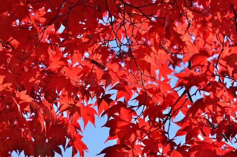 Röda sidor av lönnträdet, Kyoto Japan royaltyfri fotografi