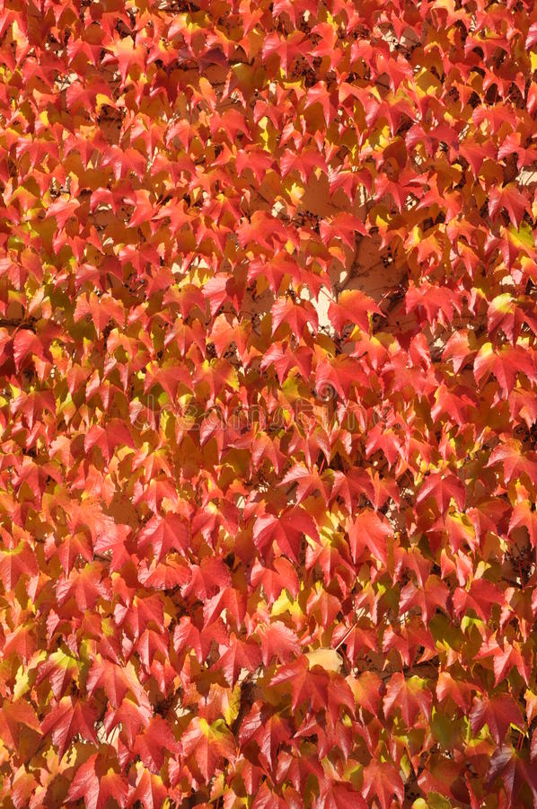 Röda sidor av murgrönan arkivfoto