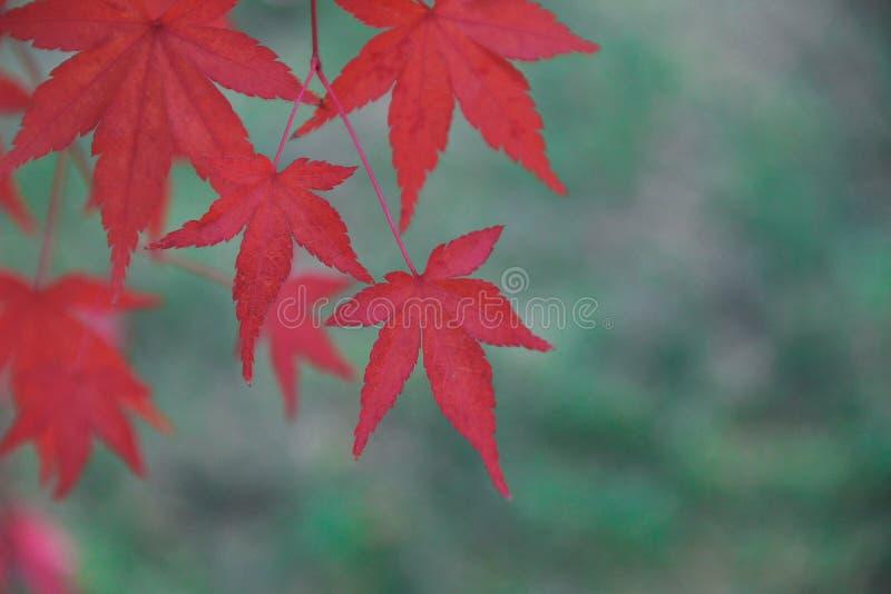 Röda sidor av trädet arkivbilder