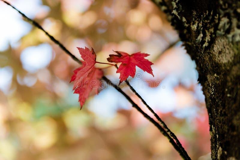 Röda sidor för höstträd arkivbilder