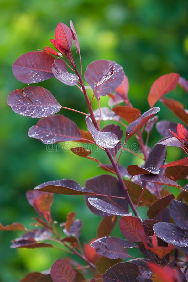 Röda sidor med droppar efter regnet på en grön suddig bakgrund Lodlinjen inramar royaltyfria bilder