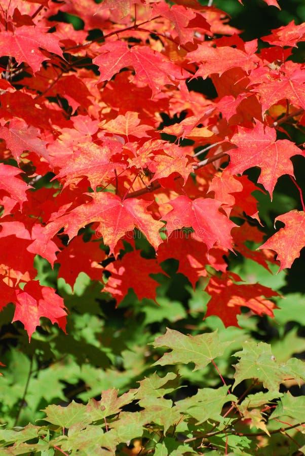 Röda sidor på ett lönnträd royaltyfria foton