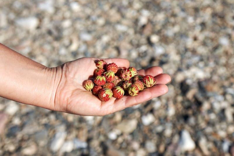 Röda skogjordgubbar i gömma i handflatan, närbilden för den soliga dagen royaltyfri foto