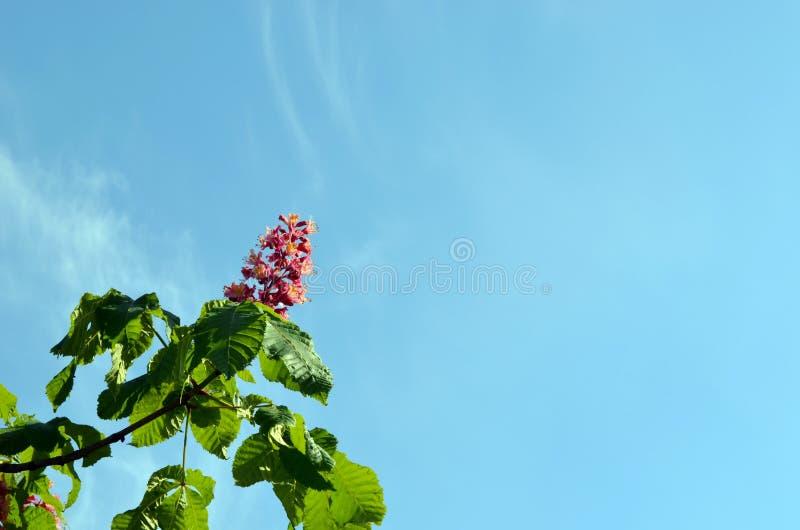röda skytrees för härlig blomma blå conker royaltyfria bilder