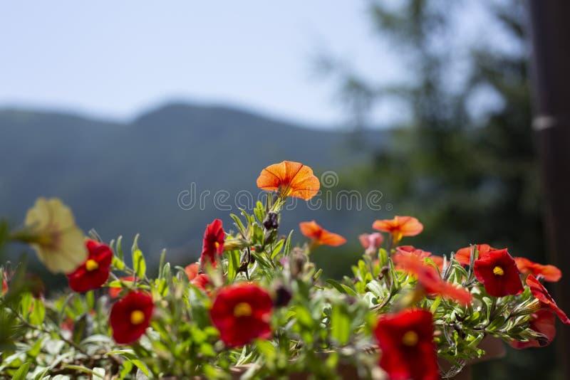 Röda små blommor med närbild för fem kronblad arkivfoto