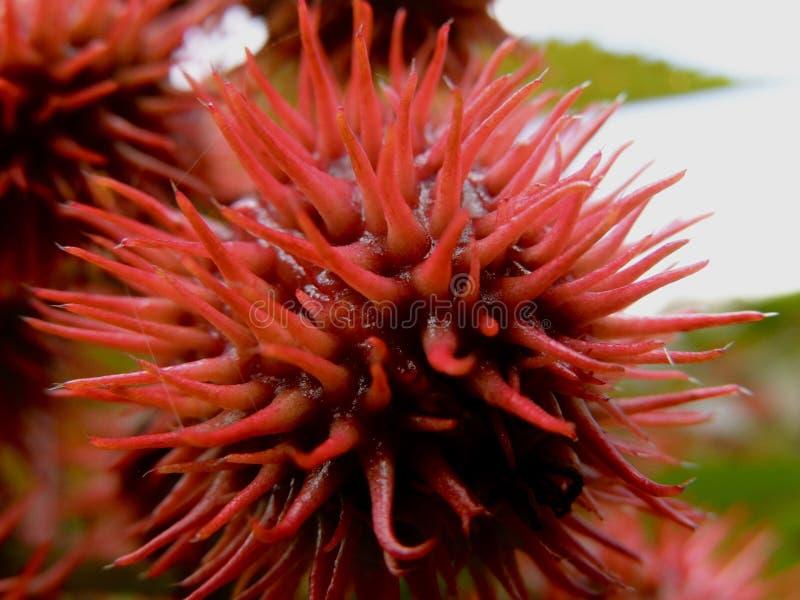 Röda Spike Seed Pod royaltyfria bilder