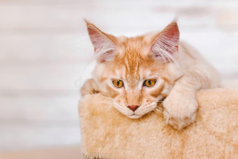 Röda Tabby Maine Coon Kitten arkivbild