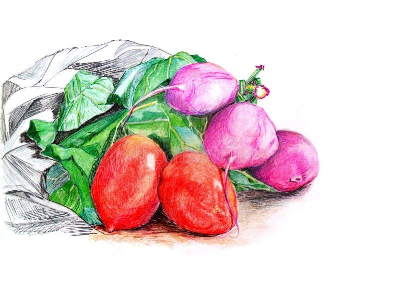 Röda tomater och rosa rädisor med gröna sidor som isoleras på den vita bakgrundshanden som dras i färgade blyertspennor och färgp royaltyfri illustrationer