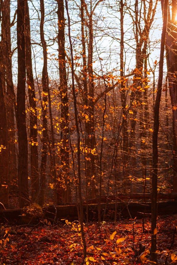Röda toner från en höstskog på solnedgången royaltyfria foton