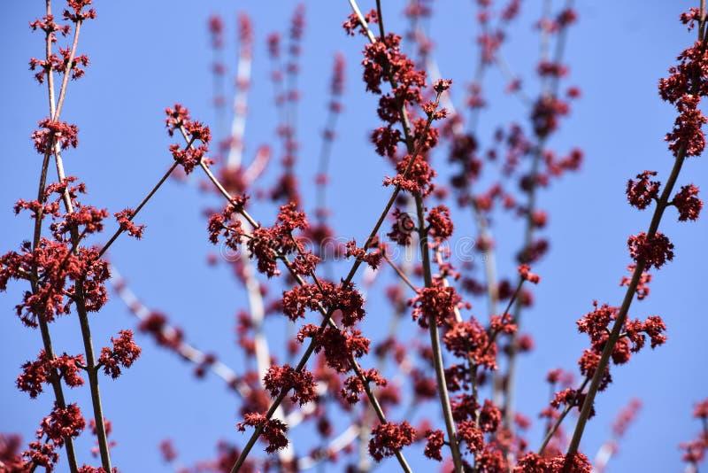 Röda trädblomningknoppar som växer på filialer mot den blåa himlen fotografering för bildbyråer
