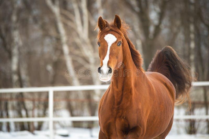 Röda Trakehner hästkörningar galopperar i vintertid arkivfoto