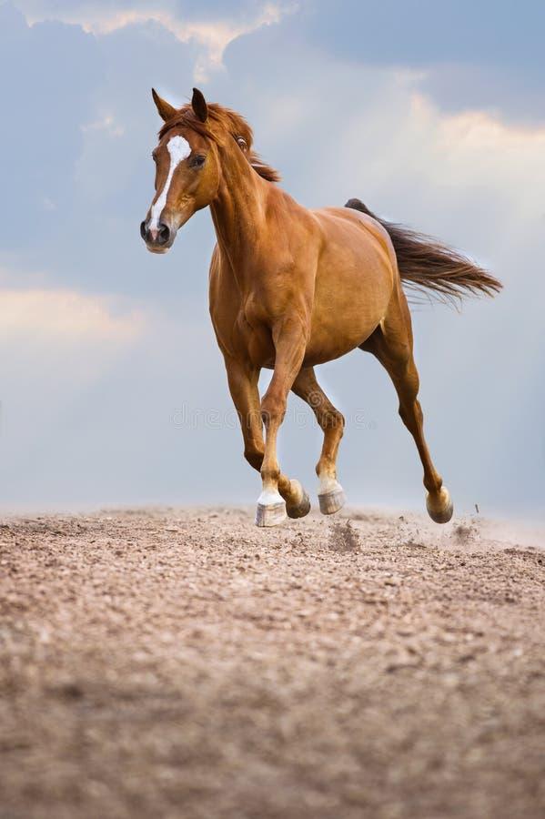 Röda Trakehner hästkörningar traver på himmelbakgrunden royaltyfri foto