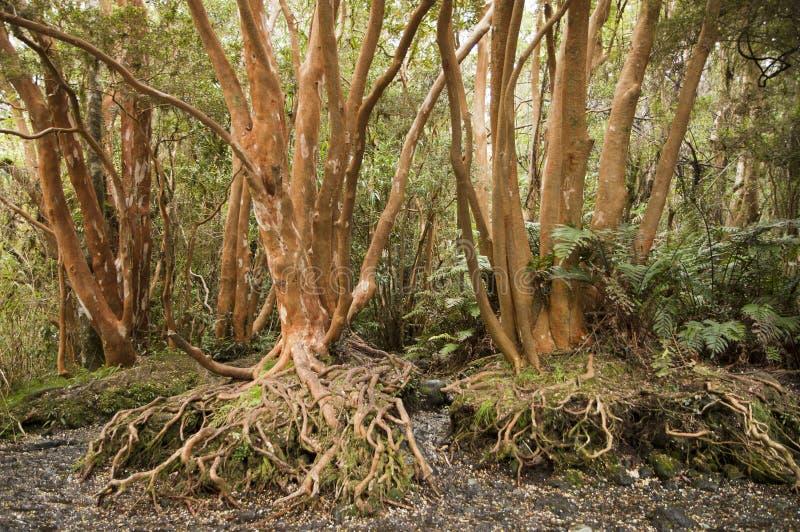 röda trees arkivbilder